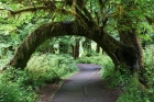 Hall-of-Mosses-Trail_Olympic-NP