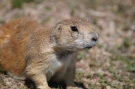 Prairiredog - Devils Tower